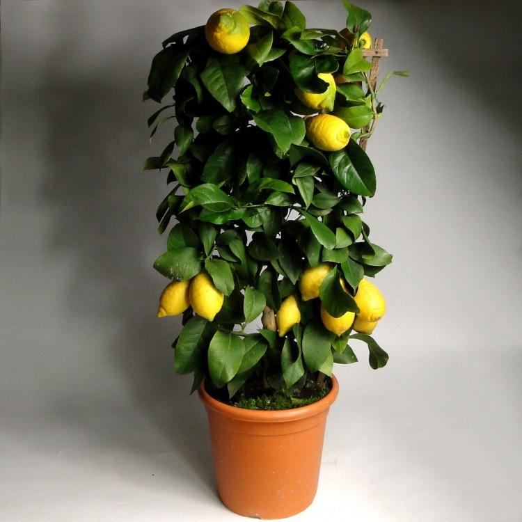 Купить растения лимон