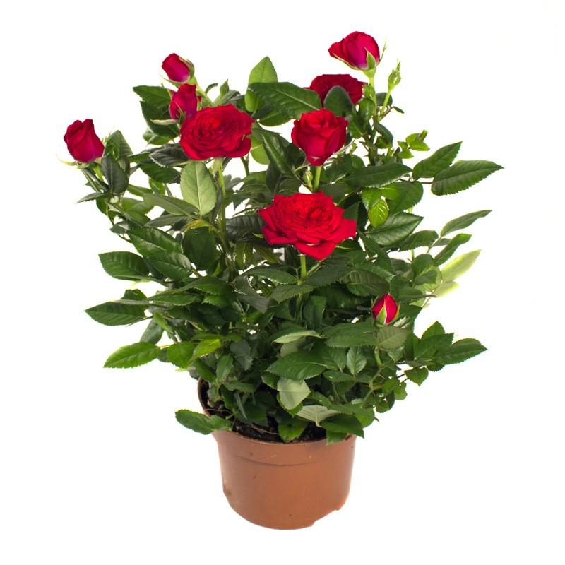 Хоббит нежданное, картинки мини розы