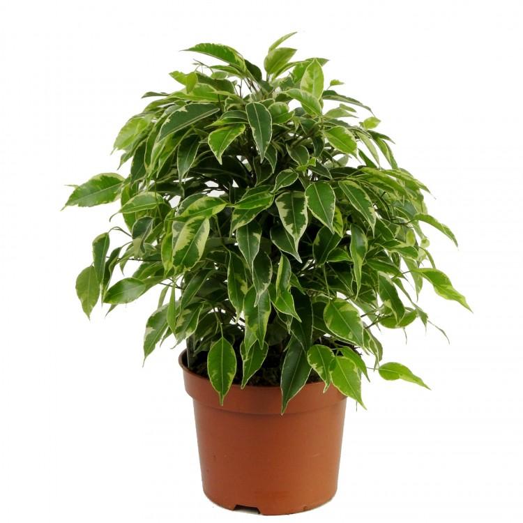 иной раз комнатное растение фикус бенджамина уход фото только